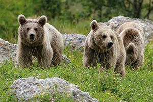 דובים בפארק גולדו לחיות-בר אלפיניות